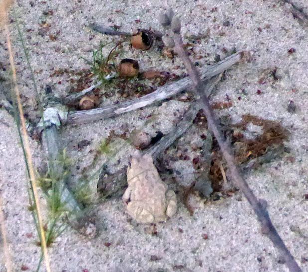 Hilary_Lorenz_CScape_Dune_Shack_beach_toad